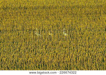 Trumpeter Swans Walking Through Harvested Corn Stocks, Skagit Valley, Wa
