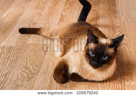 Siamese Or Thai Cat Lies On The Floor. The Cat Is Disabled. Three Paws, No Limb