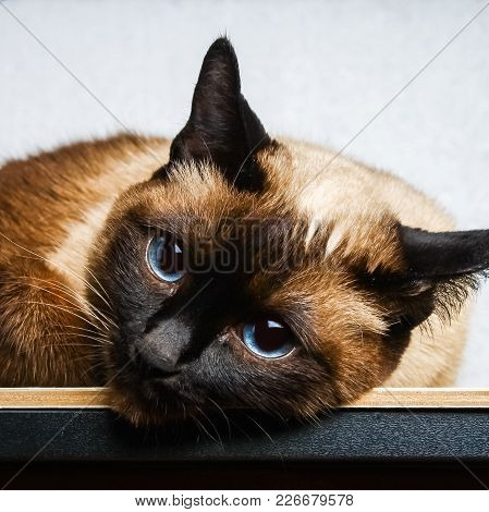 Siamese Thai Cat Lies And Looks Into The Camera, In The Frame, In The Soul. Sadness, Melancholy, Lon