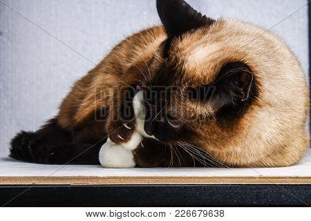 Siamese Thai Cat Plays With A Teddy Bear. Claws, Teeth, Aggression