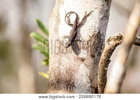 Black Brown Anole Lizard Anolis Sagrei