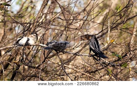 Male Anhinga Bird Called Anhinga Anhinga And Snakebird Feeds A Month Old Juvenile Near The Nest In T