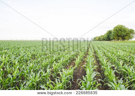 Young Green Corn On The Field. Corn Field In The Spring. Growing Stalks Of Corn