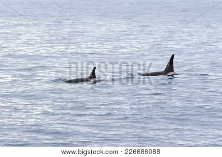 Back Fins Killer-whale Sticking Out Of Water