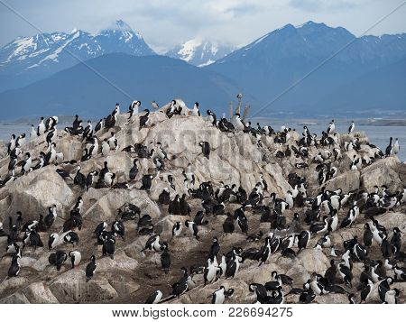 A Large Group Of Blue Eyed Cormorants Or Imperial Shags Preening And Grooming Themselves. Downy Chic