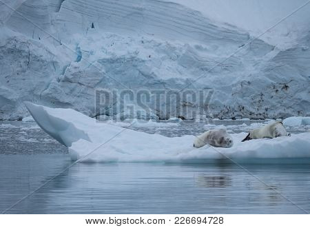 A Pair Of Crabeater Seals Resting On An Iceberg Floating In Paradise Cove, Antarctica. Their Reflect