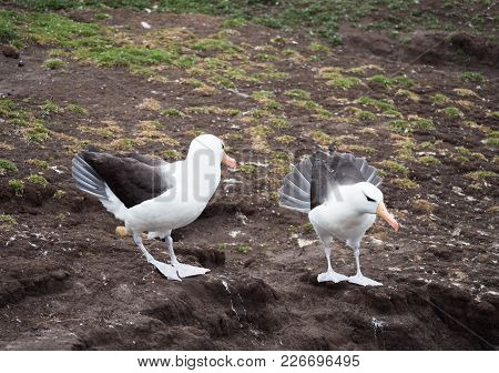 A Pair Of Black Browed Albatross Fanning Tail Feathers During Courtship.