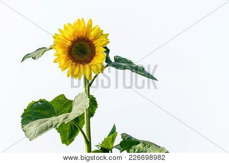 Closeup Photo Of Sunflower With Isolated Background
