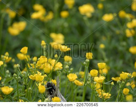 A Field Of Multiple Yellow Buttercup Flowers Photographed At Eye Level With A Shallow Depth Of Field