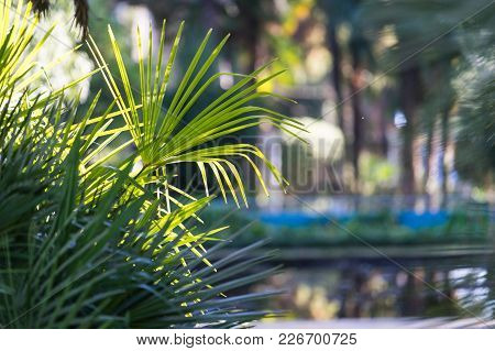 Natural Background With Fan Palm Leaves In The Foreground On A Sunny Day.