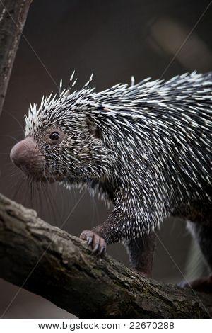 Close-up of a cute Brazilian Porcupine (Coendou prehensilis; shallow DOF) poster