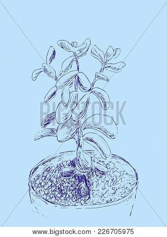 Hand Drawn Sketch Of Succulent. House Plant Crassula Ovata, Jade Plant. Vector Illustration Of Money