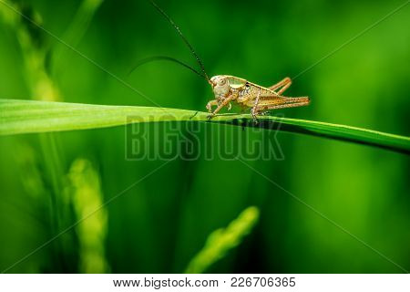 Little Green Ensifera On Grass Macro Photography