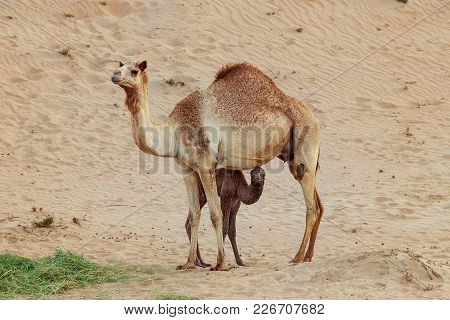 Camel Mother And Baby Newborn Calf In Desert, Dubai, Uae. Main Focus On Baby Camel.