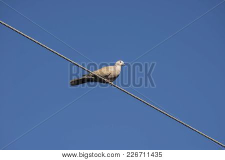 Specimen Of Eurasian Collared Dove Perched On A Power Line. It Is A Species Of Dove Native To Asia A
