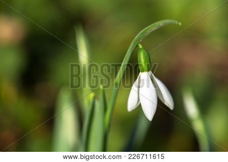 The First Spring Flower Is A Snowdrop. Fragile Gentle First Spring White Flower. Snowdrop Is A Rare