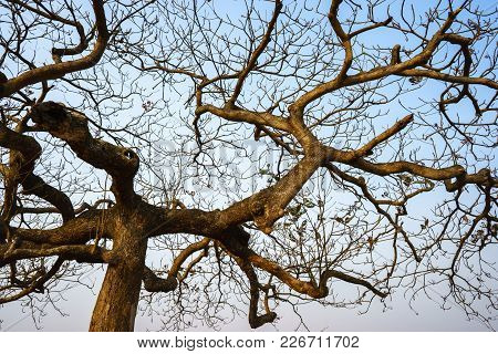 Dry Branches Of Idian Almond Tree In Winter