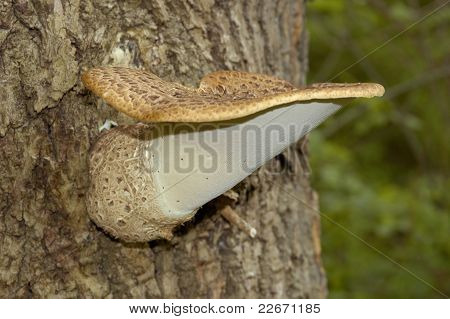 Dryad's Saddle Bracket Fungi