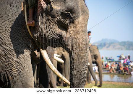 A Herd Of Elephants Closeup. Asia Elephant
