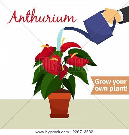 Hand With Watering Can Pours Anthurium Vector Illustration For Flower Shop