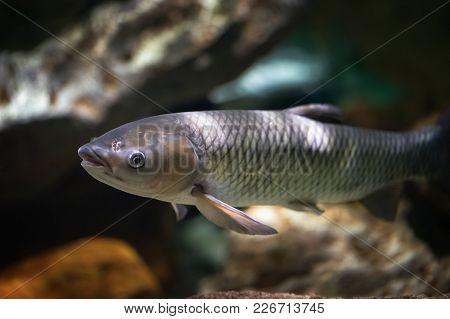 Amur Fish In The Big Aquarium. Ctenopharyngodon Idella