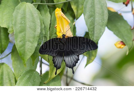 Black Swallow Tailed Butterfly Resting With Wings Extended