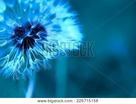 Art Photo Of Dandelion Close-up On Blue Background. Drops Of Morning Dew On The Dandelion Seeds. Mon