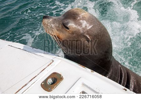 Sea Lion On The Back Of Fishing Boat Begging For Bait Fish In Cabo San Lucas Baja Mexico