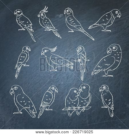 Collection Of Parrot Icon Sketches On Chalkboard. Tropical Bird Drawings On Blackboard.