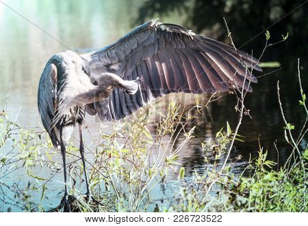 Great blue Heron in Everglades NP, Florida