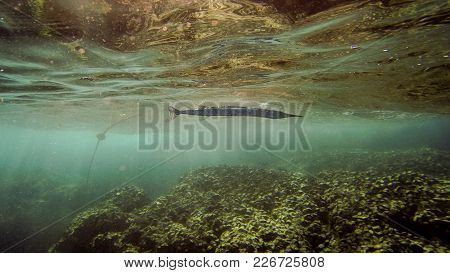 Needlefish Close To Surface Over Coral Reef
