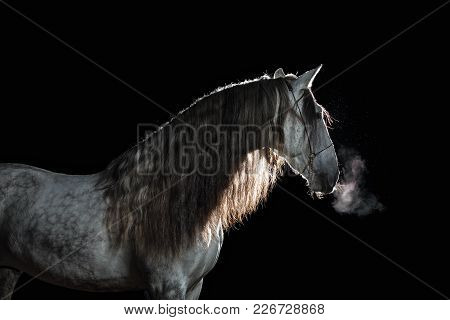 Portrait Andalusian Stallion With Long Mane And Steam From A Mouth At A Black Background With Back L