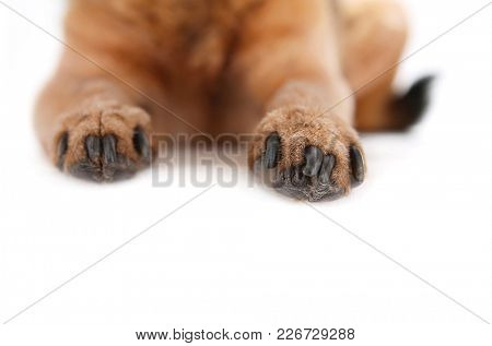 close up of chihuahua paws front view studio shot isolated on a white background