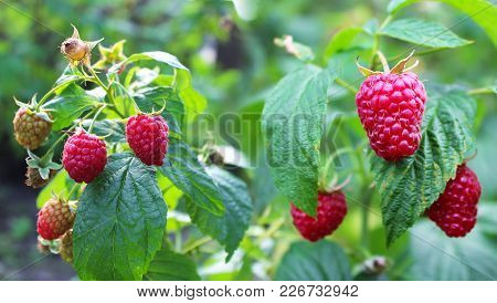 Raspberry Ripening. Red Berries On A Green Background.