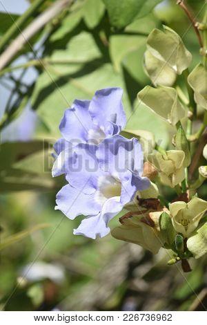 Pretty Blue Morning Glories In Bloom In A Garden.