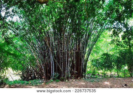 Bamboo Branch In Bamboo Forest, Beautiful Green Nature Background. Sri Lanka.