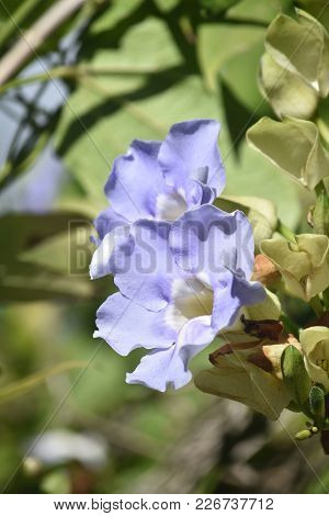 Two Pretty Blue Morning Glory Flowers Blooming