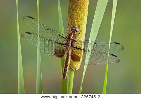 Dragonfly On Cattail