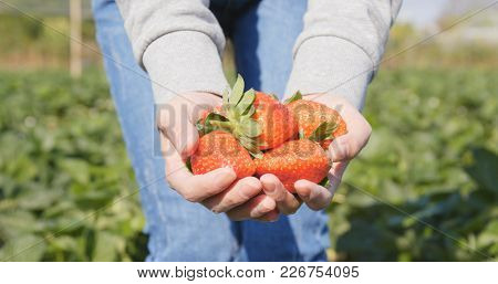 Woman holding harvest of strawberry field