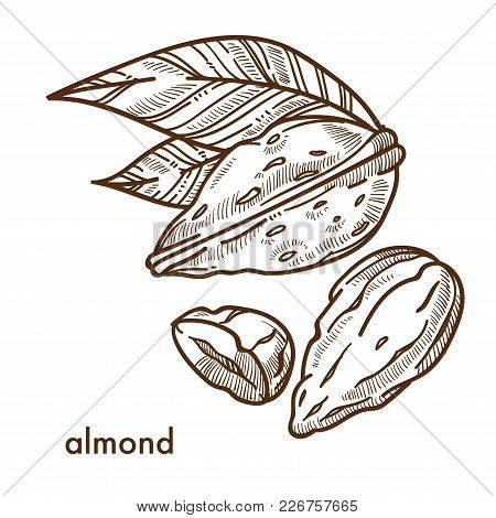 Delicious Tropical Almond In Shell With Small Leaves. Tasty Nut Used In Desserts. Organic Naturally