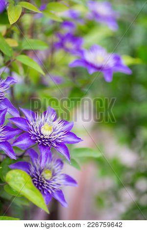 Closeup Purple Clematis Flowers Outdoor In Garden