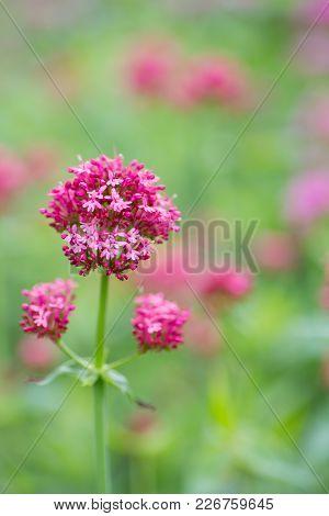 Pink Centrantus Flowers In Garden Outdoor