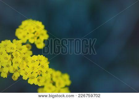 Yellow Alyssum Flowers On Dark Blue Blurred Background In Garden Outdoor