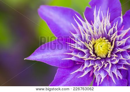 Single Closeup Purple Clematis Flower Outdoor In Garden