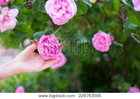 Female Hand Holding Tender Pink Tea Rose Flower On Blooming Bush Outdoor In Garden In Spring
