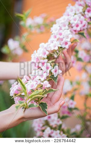 Female Young Hands Holding Pink Weigela Flowering Branch On Bush On Sunny Day In Spring