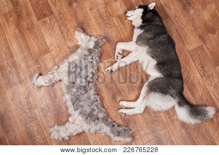 Dog Lies Next To The Figure Of A Dog From Combed Wool. Moulting And Big Pile Fur Siberian Husky. Vie