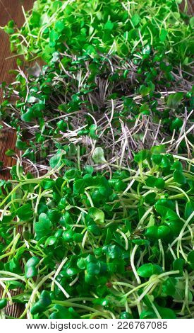 Mix Of Green Grass Sprouts, Arugula, Red Cabbage, Radish