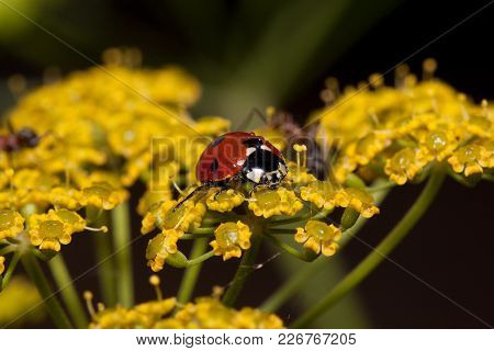 Beautiful Ladybug Is Sitting On A Small Yellow Flowers. Animals In Wildlife. Summer Morning.