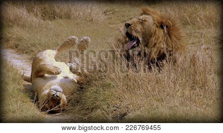A Couple Of A Lion And A Lioness In The Wild Sabana